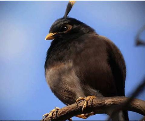 پرنده سیاه انگری بردز